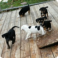 Adopt A Pet :: Puppies - Slanesville, WV