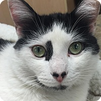 Domestic Shorthair Cat for adoption in Hendersonville, North Carolina - Buddy