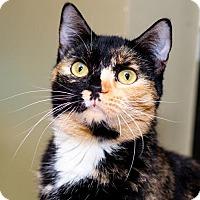 Adopt A Pet :: Celtic - Palm Springs, CA