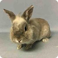 Adopt A Pet :: RONNIE - Brooklyn, NY