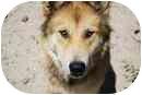 Husky/Alaskan Malamute Mix Dog for adoption in Thatcher, Arizona - Starr