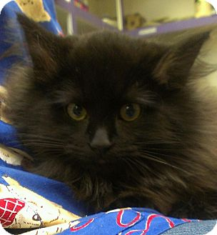 Domestic Longhair Cat for adoption in Richboro, Pennsylvania - Rihanna