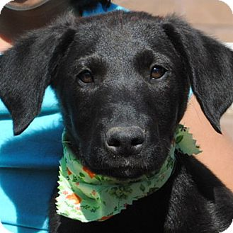 Labrador Retriever/Golden Retriever Mix Puppy for adoption in Weatherford, Texas - Laird