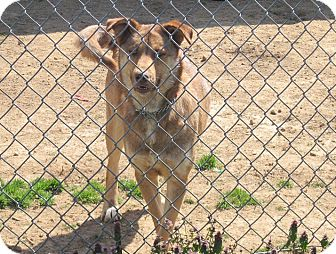 German Shepherd Dog/Husky Mix Dog for adoption in Linden, Tennessee - Sage