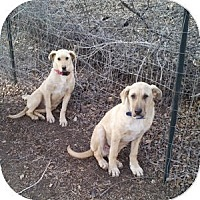 Adopt A Pet :: Johnny (bonded with Suki) - Santa Fe, NM