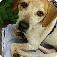 Beagle Mix Dog for adoption in Alexis, North Carolina - Chloe