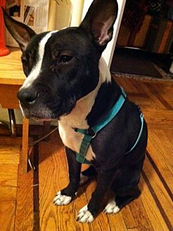 Pit Bull Terrier Mix Dog for adoption in Ridgewood, New Jersey - LIL TIMES