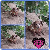 Adopt A Pet :: Lucky AKA Weenie Dog - Fowler, CA