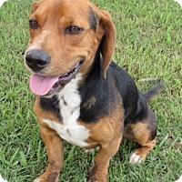 HARRISBURG, PA - Basset Hound/Beagle Mix. Meet RICHARD a ...