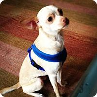 Adopt A Pet :: Simon - San Francisco, CA
