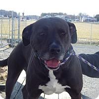 Adopt A Pet :: Sky - Queenstown, MD