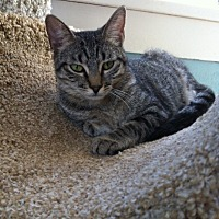 Domestic Shorthair Cat for adoption in Houston, Texas - Jill