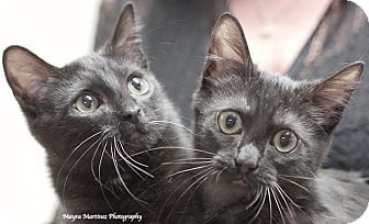 Domestic Shorthair Kitten for adoption in Homewood, Alabama - Smokey and Bandit