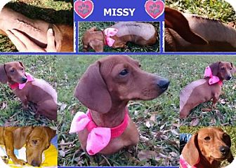 Dachshund Dog for adoption in Pearland, Texas - Missy