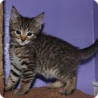 Adopt A Pet :: Cornelius - Colorado Springs, CO