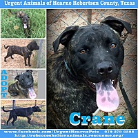 Catahoula Leopard Dog Mix Dog for adoption in Hearne, Texas - Crane