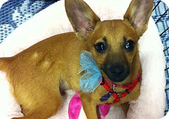Chihuahua/Terrier (Unknown Type, Small) Mix Puppy for adoption in Phoenix, Arizona - Peanut