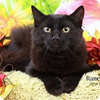 Domestic Mediumhair Cat for adoption in Sterling Heights, Michigan - Rusty