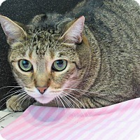 Domestic Shorthair Cat for adoption in Long Beach, California - Marco