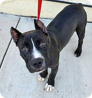 Pit Bull Terrier Mix Dog for adoption in Madison, Alabama - Kade