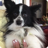 Pomeranian/Papillon Mix Dog for adoption in Memphis, Tennessee - Lillie Belle