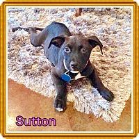 Adopt A Pet :: Sutton - Harrisburg, PA