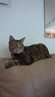Domestic Shorthair Cat for adoption in Sunny Isles Beach, Florida - Tutu