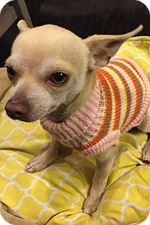 Chihuahua Dog for adoption in San Jose, California - Jack