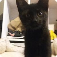 Domestic Mediumhair Kitten for adoption in Warren, Michigan - Max