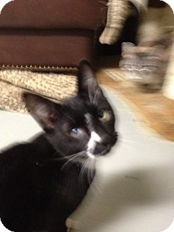 Domestic Shorthair Cat for adoption in Wenatchee, Washington - Jumpin Jack Flash