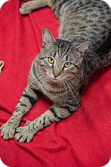Ocicat Cat for adoption in Chicago, Illinois - Jacques