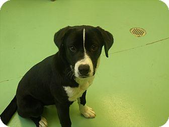 Labrador Retriever/Shepherd (Unknown Type) Mix Dog for adoption in Gadsden, Alabama - Norma Jean