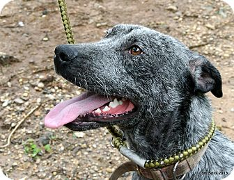 Labrador Retriever/Blue Heeler Mix Dog for adoption in Charlemont, Massachusetts - Smudge