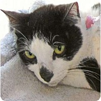 Adopt A Pet :: Miranda Panda - Indian Rocks Beach, FL