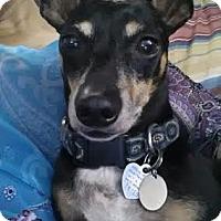 Adopt A Pet :: KIWI - Wellington, FL