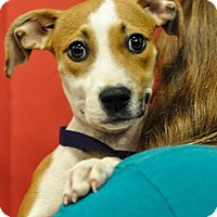 Adopt A Pet :: Pebbles - Gainesville, FL