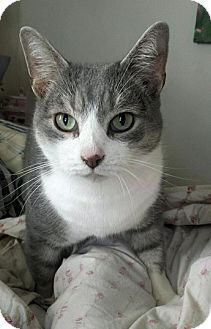 Domestic Shorthair Cat for adoption in Baltimore, Maryland - Chester