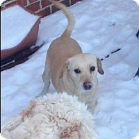 Adopt A Pet :: Lulu - Palatine/Kildeer/Buffalo Grove, IL