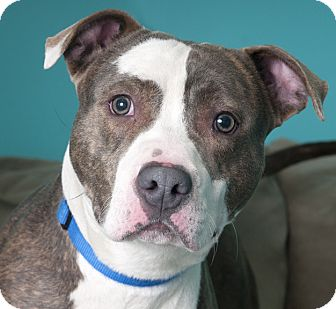 American Pit Bull Terrier Dog for adoption in Chicago, Illinois - Walter