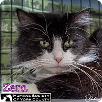 Domestic Longhair Cat for adoption in Fort Mill, South Carolina - Zera