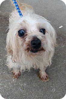 Maltese Dog for adoption in Hopkinsville, Kentucky - Cottonball