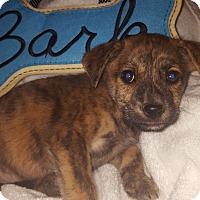 Adopt A Pet :: Ziggy~ meet me! - Glastonbury, CT