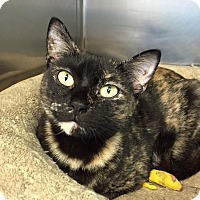 Domestic Shorthair Cat for adoption in Manchester, New Hampshire - Hillary