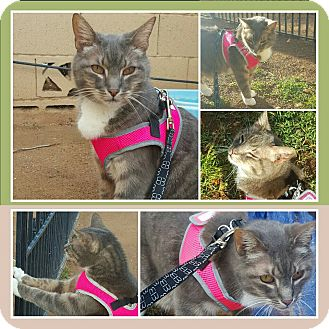 Domestic Shorthair Cat for adoption in Gilbert, Arizona - Doc
