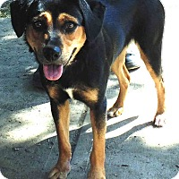 Hound (Unknown Type)/Rottweiler Mix Dog for adoption in Washington court House, Ohio - Daisy