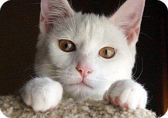 Domestic Shorthair Cat for adoption in Wauconda, Illinois - Lux
