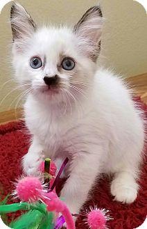 Domestic Longhair Kitten for adoption in Monrovia, California - Snow