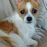 Chihuahua Dog for adoption in Centreville, Virginia - Leo