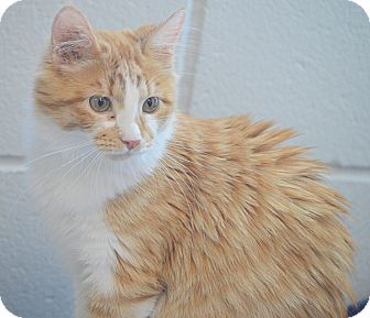 Domestic Mediumhair Cat for adoption in San Leon, Texas - Mindy