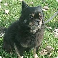 Pomeranian/Pekingese Mix Dog for adoption in Aurora, Illinois - Precious